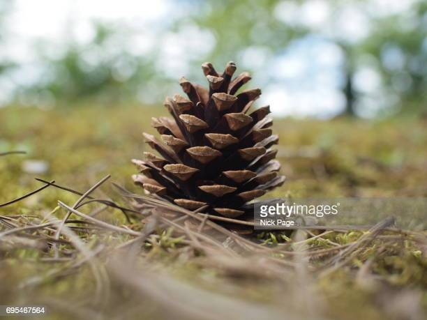 A Fallen Pine Cone in a Natural Forest Setting