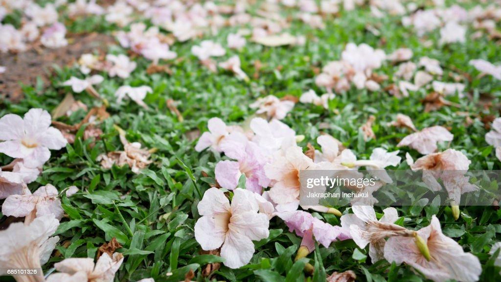 Fallen pink trumpet flower or tabebuia rosea in on green grass in fallen pink trumpet flower or tabebuia rosea in on green grass in public park stock mightylinksfo