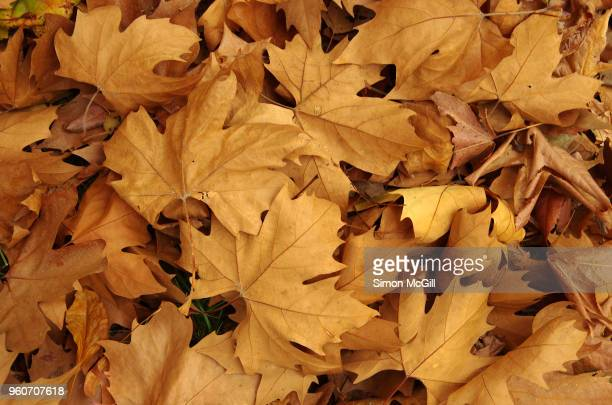 fallen plane tree leaves in autumn - autumn falls stock pictures, royalty-free photos & images