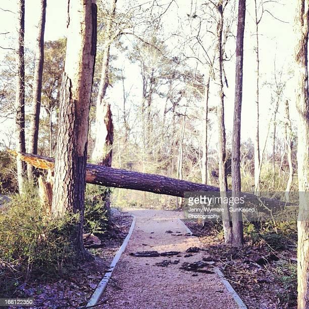 Fallen tree across walking trail.