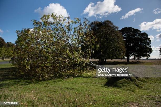 fallen tree after storm - fallen tree stock pictures, royalty-free photos & images