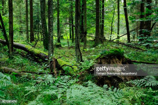 fallen tree in balowieza forest in north-eastern poland - bialowieza forest imagens e fotografias de stock