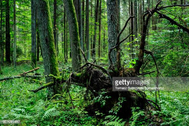 fallen tree in balowieza forest in north-eastern poland - bialowieza forest photos et images de collection