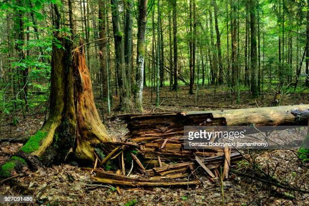 fallen tree in balowieza forest in north-eastern poland - bialowieza forest stock pictures, royalty-free photos & images