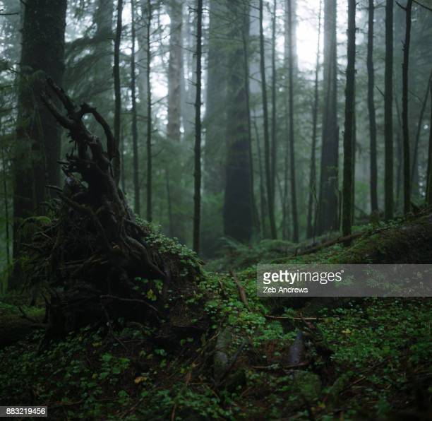 fallen tree in dense coastal forest - oregon coast stock pictures, royalty-free photos & images
