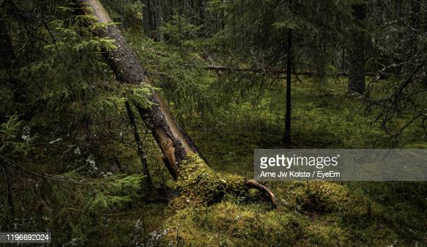 fallen tree in forest - arne jw kolstø stock pictures, royalty-free photos & images