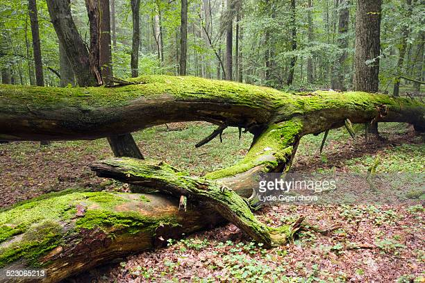 fallen tree, moss-covered, bialowieza forest, bialowieza national park, poland, europe - bialowieza forest photos et images de collection