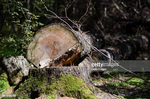 Fallen tree seen on August 09 2017 in Podlaskie Voivodeship Poland The Bialowieza National Park is best known for the protection of the Bialowieza...