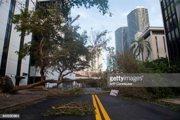 Fallen tree toppled by Hurricane Irma blocks a street in downtown Miami, Florida, on September 11, 2017. / AFP PHOTO / SAUL LOEB
