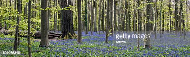 Fallen tree trunk in beech forest with bluebells in flower in spring
