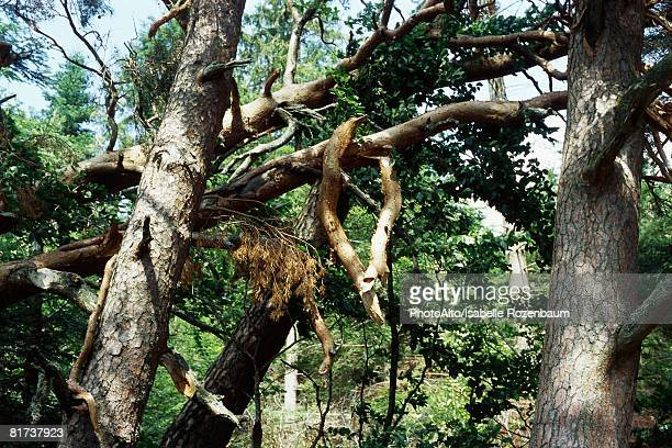 fallen trees and broken branches in woods after storm - isabelle foret photos et images de collection