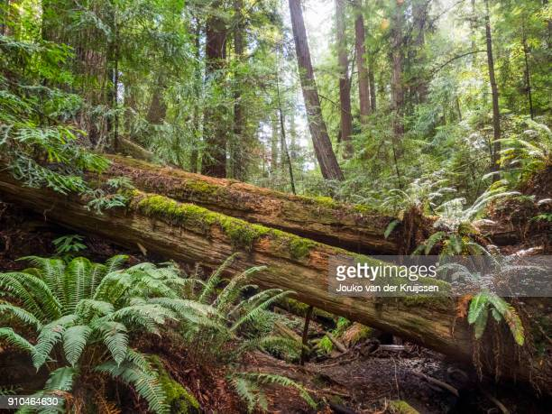 Fallen trees, Armstrong Redwoods State Natural Reserve, California, United States, North America