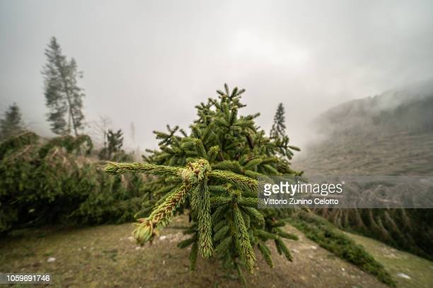 Fallen trees in the Marcesina Plain on November 8 2018 in Asiago Italy On Monday October 29th violent winds and heavy rains have devastated the...