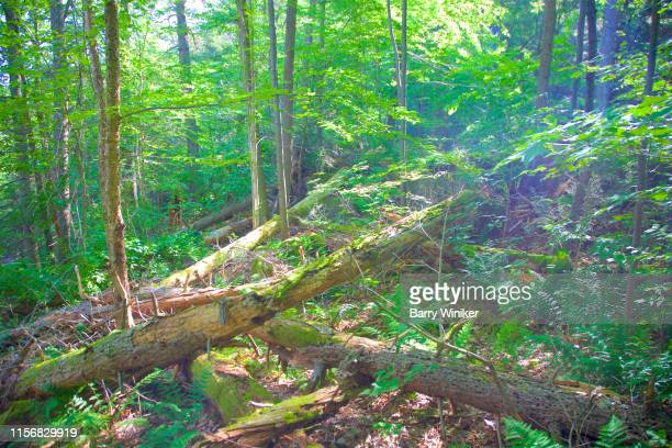 fallen trees in the woods of kent falls, ct - barry wood stock pictures, royalty-free photos & images