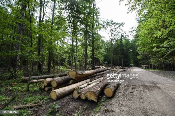 Fallen trees seen on August 09 2017 in Podlaskie Voivodeship Poland The Bialowieza National Park is best known for the protection of the Bialowieza...