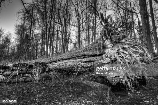 fallen uprooted tree in forest, wilmington, delaware, usa - wilmington delaware stock pictures, royalty-free photos & images