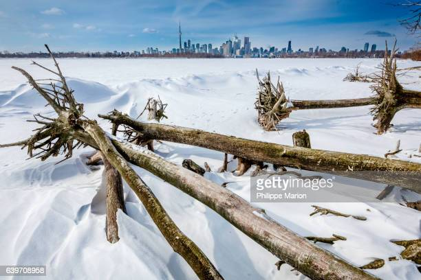 Fallen uprooted trees lay next to frozen Lake Ontario and the winter skyline of Toronto