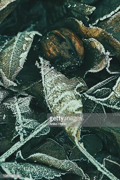 fallen walnut leaves and walnut in winter - aniko hobel stock pictures, royalty-free photos & images