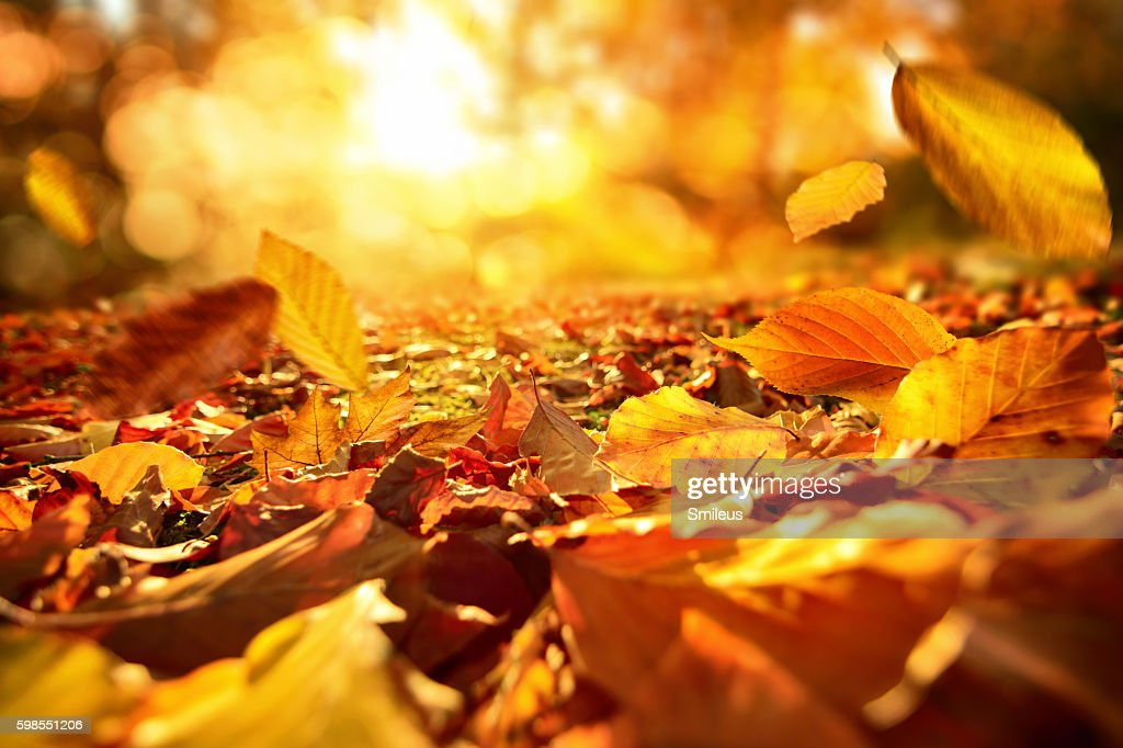 Falling Autumn leaves in lively sunlight : Stock Photo