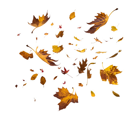 Falling Autumn Leaves On White Background 992061958