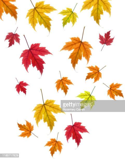 falling autumn maple leaves on a white background. - month stock pictures, royalty-free photos & images