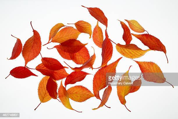 Falling autumnal cherry leaves