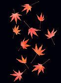 eleven autumnal maple leaves tumbling across
