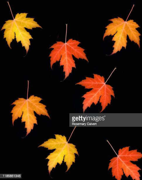 falling autumnal maple leaves on black. - digital enhancement stock pictures, royalty-free photos & images