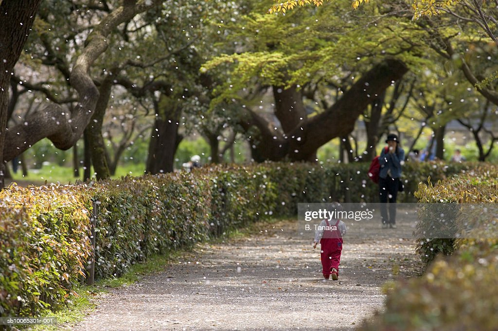 Falling cherry blossom petals with people in background : Foto stock