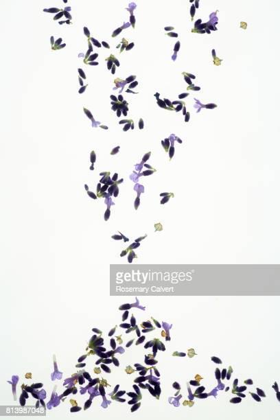 Falling fragrant lavender florets on white background.