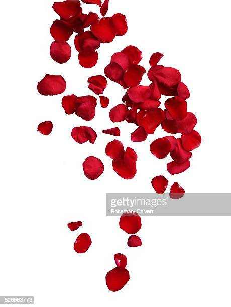 Falling fragrant red rose petals on white.
