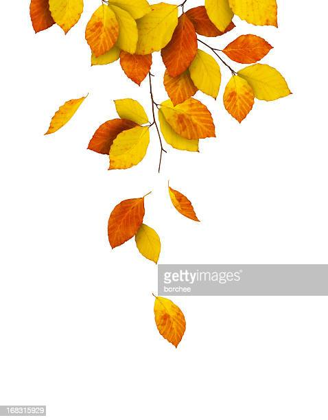 falling from the tree - beech tree stock pictures, royalty-free photos & images