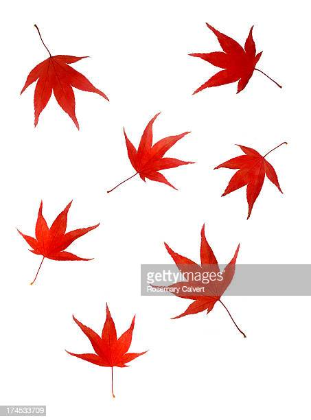 Falling maple leaves in autumn colour