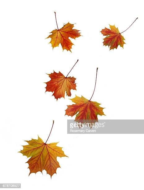 Falling Norwegain maple leaves in autumn.