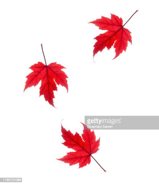 three red maple leaves falling across