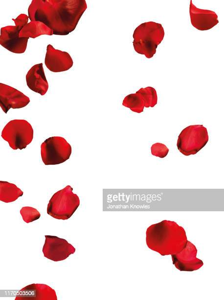 falling red petals - rose stock pictures, royalty-free photos & images