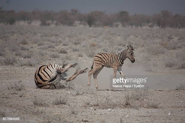 Falling Zebra And Young Foal In Desert
