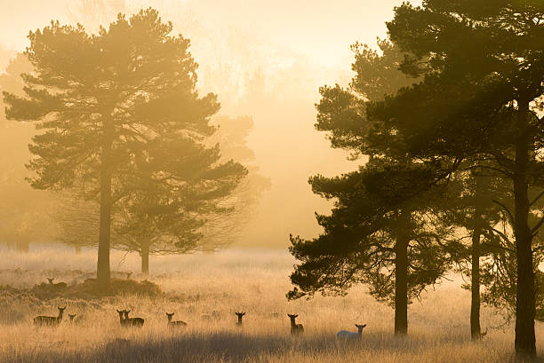 Fallow deer and Scots pines at dawn