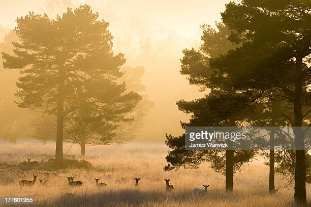 fallow deer and scots pines at dawn - deer stock pictures, royalty-free photos & images