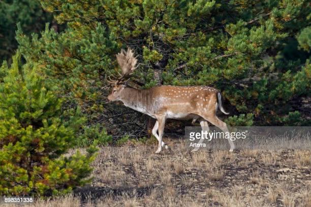 Fallow deer buck foraging in heathland in autumn