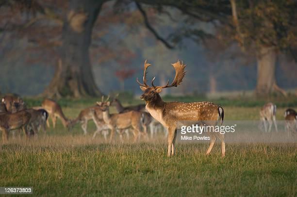 fallow deer (dama dama) buck in herd, norfolk, uk - antler stock pictures, royalty-free photos & images