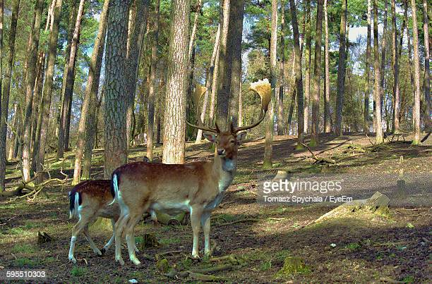 Fallow Deer By Trees In Forest