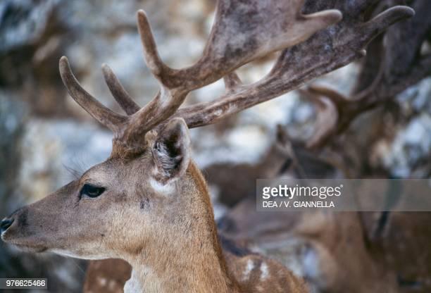 Fallow deer Cervidae Gargano national park Apulia Italy
