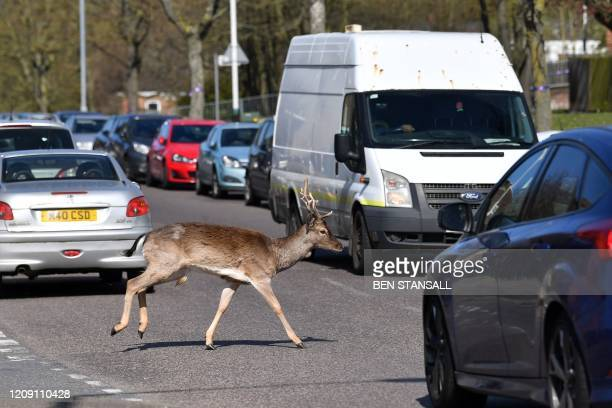 TOPSHOT A fallow deer crosses the road in Harold Hill in east London on April 4 as nature takes advantage of life in Britain during the nationwide...