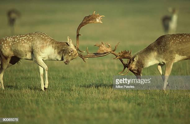 Fallow Deer, Dama dama, buck fighting, Norfolk