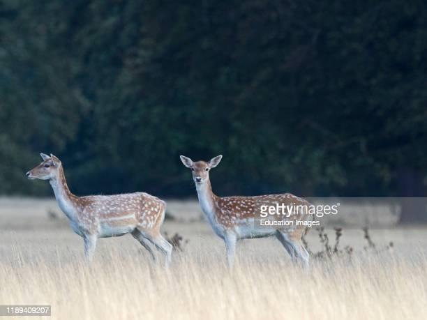 Fallow deer Dama dama does in autumn Holkham Norfolk UK