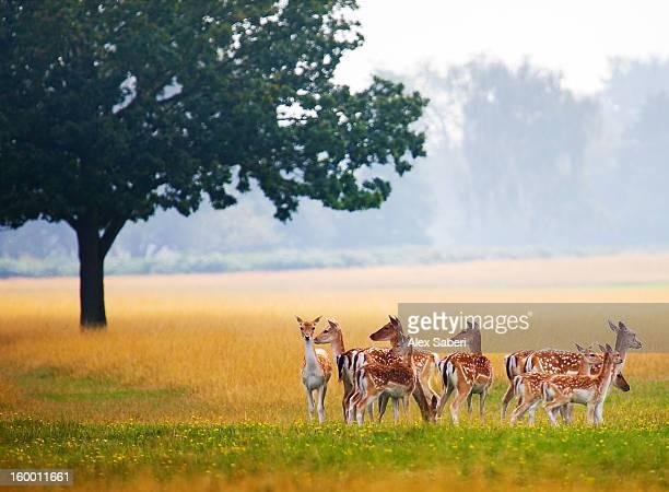fallow deer, dama dama, gather together in a field in summer. - alex saberi imagens e fotografias de stock