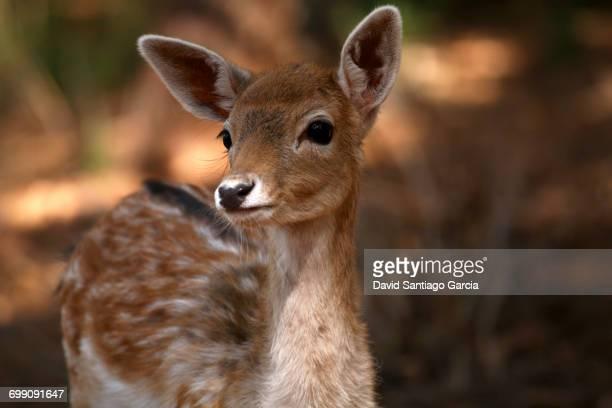 Fallow deer Dama dama male portrait Asturias Spain