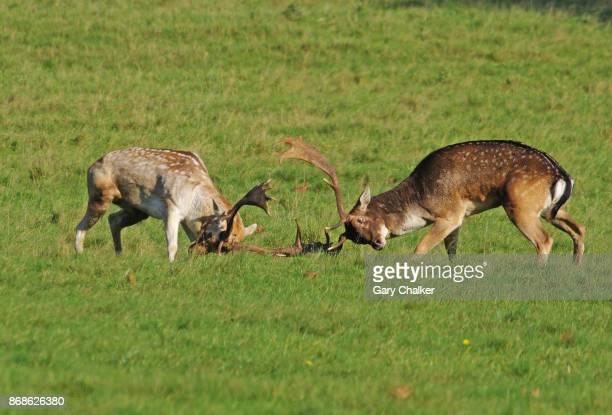Fallow Deer [Dama dama]
