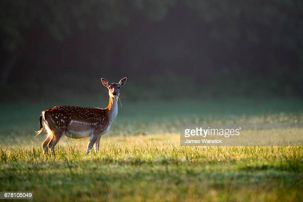 Fallow deer doe at dawn